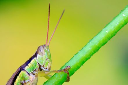 26664565 - locusts on green leaf in the wild